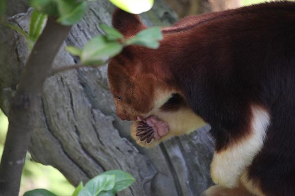セスジキノボリカンガルー 画像