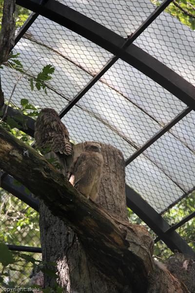 北海道 シマフクロウ