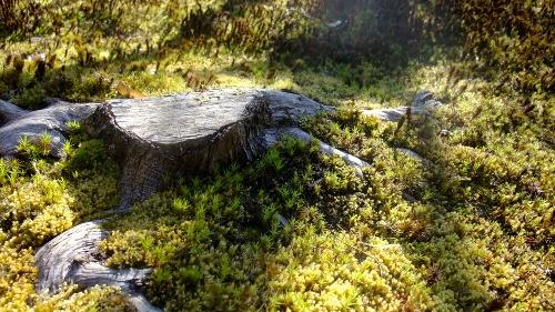 いっぱいの杉苔