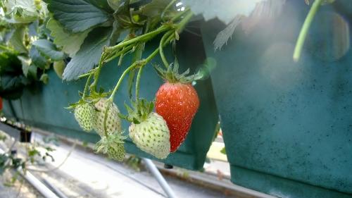 森田農園さんのイチゴ