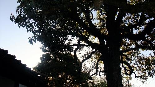 この木なんの木?