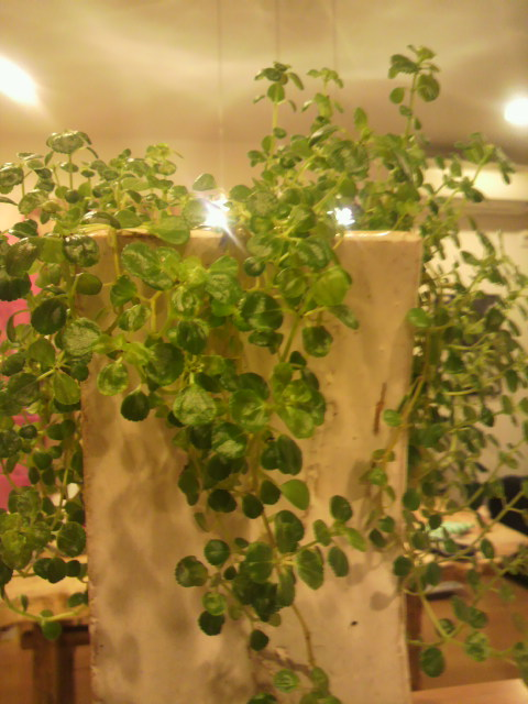 観葉植物(^^)