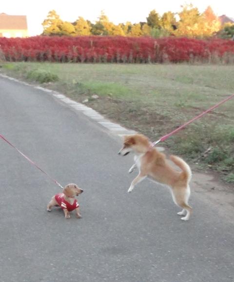 バニラと柴犬