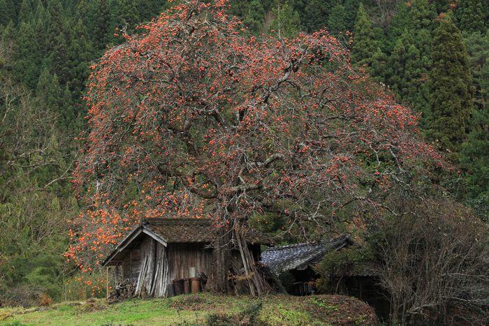 ネイチャ-写楽 根羽村の柿