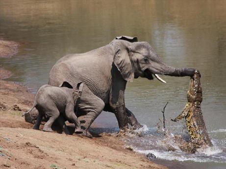 elephant-vs-alligator-fight-1_28154_big.jpg