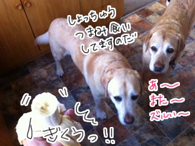 羊の国のラブラドール絵日記シニア!!「むきふむき」写真日記4