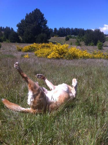 羊の国のラブラドール絵日記シニア!!「危険なスリスリ」写真2