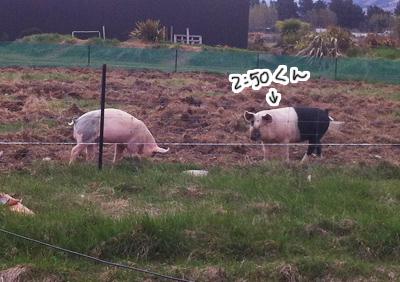 羊の国のラブラドール絵日記シニア!!「ご近所国勢調査」写真日記4
