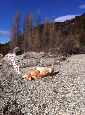 羊の国のラブラドール絵日記シニア!!「犬猫びっくりニュース!」写真日記2