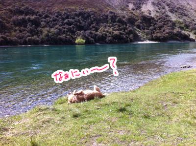 羊の国のラブラドール絵日記シニア!!「わかってるっぽい?」2