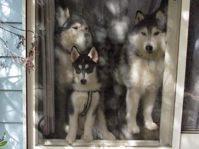 窓辺のハスキーズ
