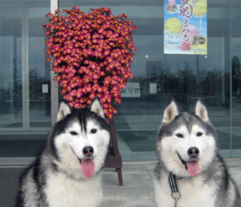 菊の花と おふたりさん