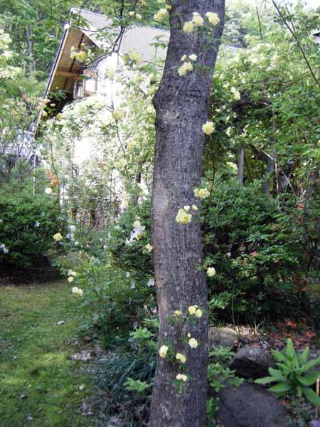 キモッコウの枝