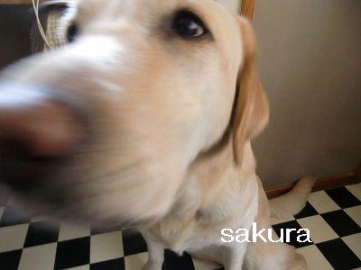 sakura 009