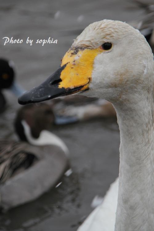 20130210白鳥2