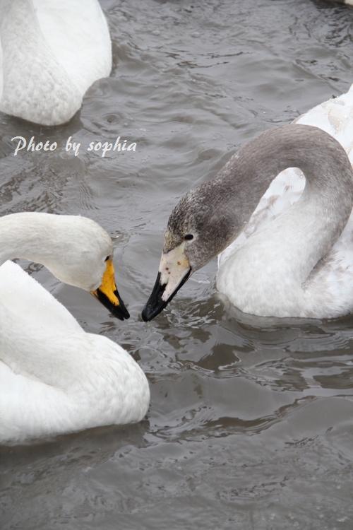 20130210白鳥1