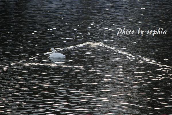 20130217白鳥3