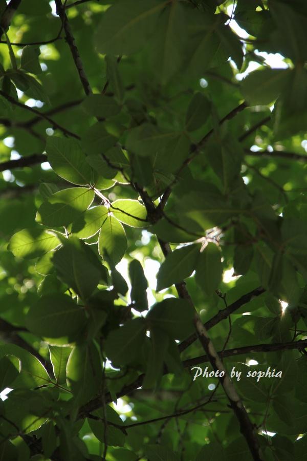 めぐすりの木