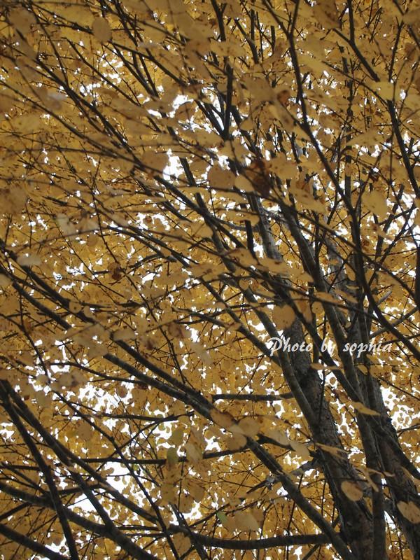 雨の中の黄葉
