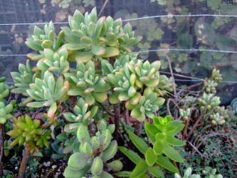 エケベリア ミニベル Echeveria MINI BELL~夏の様子~緑です!2011.08.30