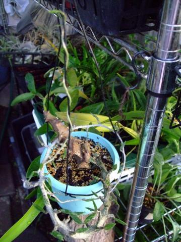 セロペギア属 アルマンディー (Asclepiadaceae Ceropegia armandii ) 2011.09.10