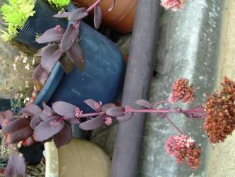 先端だけでなく!枝下にも花芽がたくさん!セダム チョコレートドロップ(Sedum Chocolate Drop)2011.09.11