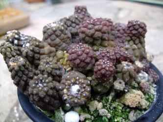 南米サボテン コピアポア バルクテンシス・紫鱗竜(Copiapoa barquitensis)元気が無かったので植え替えようと思います!